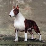 Konstnärstryck av John E Franzén  Brindle hund 50:-