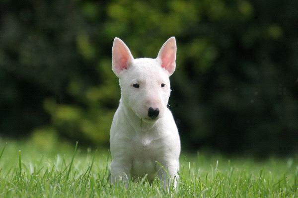 bull-bull-terrier-puppies-breed