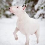 white-bull-terrier-in-snow