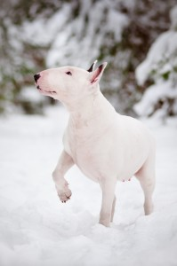 white-bull-terrier-in-snow